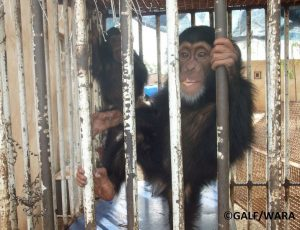Chimpanzé saisi