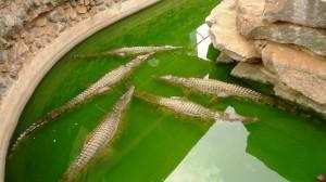 Crocodiles trafiquants chinois