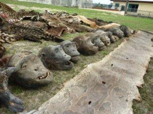 Opération AALF au Gabon : saisie de 13 têtes et 32 mains de grands singes, de 12 peaux de léopards, 1 peau de lion et 5 queues d'éléphants. Cinq trafiquants derrière les barreaux.
