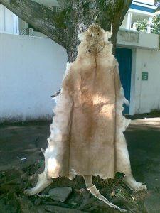 Peau de lion en vente à Conakry