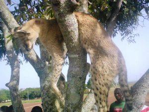 Abattage illégal de serval