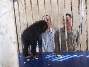 Chinois arrêté trafic chimpanzé GALF